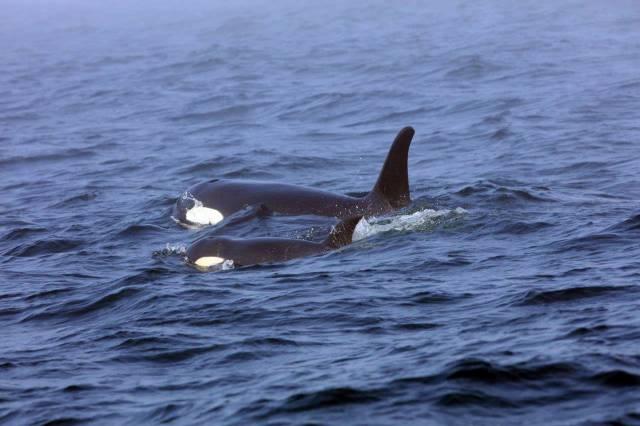 Equipo de expertos se apresura para ayudar a orca enferma